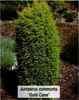 Juniperus communis gold cone узкоконический