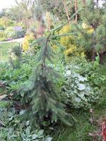 Растения ель обыкновенная инверса ель