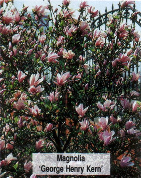 magnolia george henry kern. Black Bedroom Furniture Sets. Home Design Ideas
