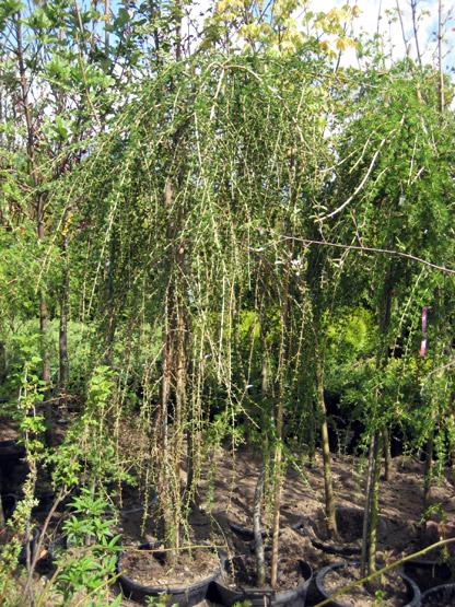 Larix decidua 'Marta Radek', хвойные деревья и растения ...   555x416