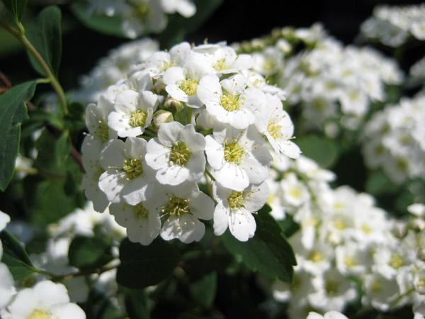 Розы грандифлора описание фото виды и сорта условия