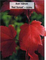 Клён красный Ред Сансет