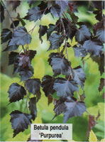 Берёза повислая Пурпурея